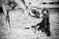 Framboise, nouvelle née