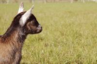 Oreilles blanches, fille de chèvre aux oreilles blanches (Darling)