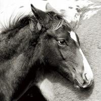Poulain, quarter horse