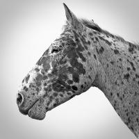 Reina, quarter horse